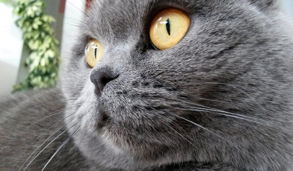 Улыбка британской кошки фото