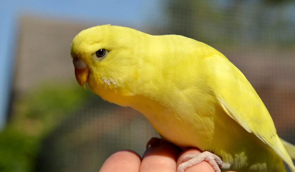 Желтый волнистый попугай фото