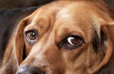 Чумка у собак фото
